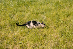 Hunting cat hiding in grass Royalty Free Stock Photography