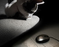 Hunting cat. Cat on a pillow, observing an electronic mouse on the floor Stock Photo