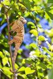 Hunting chameleon Stock Photo