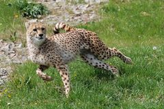 Hunting cheetah Royalty Free Stock Photos