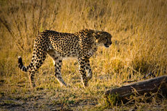 Hunting Cheetah. Cheetah looking for prey in Moremi National Park, Botswana Stock Images