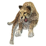Hunting Cheetah. 3D digital render of a hunting cheetah isolated on white background Royalty Free Stock Photos
