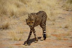 Hunting cheetah Stock Images