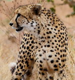 Hunting Cheetah Stock Photography