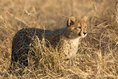 Hunting Cheetah. A cheetah observing a potential prey Royalty Free Stock Photos