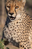 Hunting cheetah Royalty Free Stock Photography