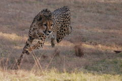 Hunting Cheetah in South Africa Royalty Free Stock Photography