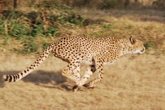 Hunting Cheetah in South Africa Stock Photo