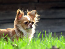 HUNTING CHIHUAHUA IN THE GRASS Stock Photos