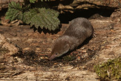 A hunting Common Shrew Sorex araneus. Stock Image