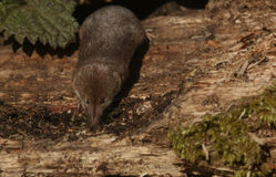 A hunting Common Shrew Sorex araneus. A hunting Common Shrew Sorex araneus searching for food in an old log pile Royalty Free Stock Photography