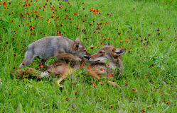 Hunting Coyote in a field of wildflowers. Royalty Free Stock Photo