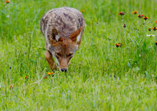 Hunting Coyote in a field of wildflowers. Royalty Free Stock Photography