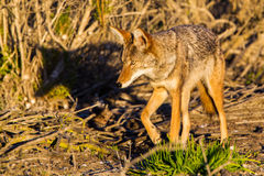 Hunting Coyote. Healthy Adult Coyote Hunting Through A Thicket Of Brush Stock Image