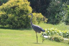 Hunting Crane. Crane shows up weekly hunting for mice or fish from the canal Royalty Free Stock Photography
