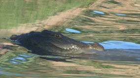 Hunting crocodile in shallow water stock video footage