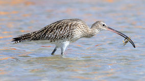 Hunting Curlew at Sharm el-Sheikh beach of Red Sea Royalty Free Stock Image