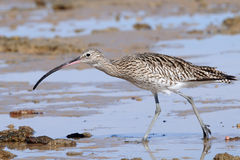 Hunting Curlew at Sharm el-Sheikh beach of Red Sea Royalty Free Stock Photo