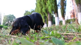 Hunting Dachshund dog breed sniffing on the grass stock video