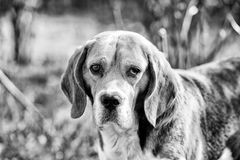 Hunting and detection dog. Dog with long ears on summer outdoor. Beagle walk on fresh air. Cute pet on sunny day. Companion or friend and friendship concept stock photos