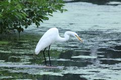 Hunting for dinner. This snowy egret is looking for dinner, with a crook in its neck. It's looking into the water while standing on a plank of wood, waiting to Stock Photography