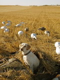 Hunting Dog. A hunting dog sits in a field of decoys after a successful hunt royalty free stock photos