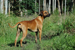 Rhodesian Ridgeback dog in forest Stock Photos
