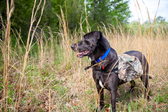 Hunting dog. Full view of hunting dog standing in grass field wearing hunting vest Stock Photos