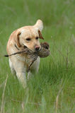 Hunting dog. Hunting labrador retriever portrait with bird Stock Images