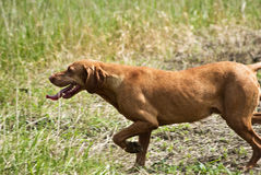 Hunting Dog. At work, showing the hunter were the pray is Stock Photography