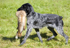 Hunting dog. With a catch Royalty Free Stock Photography