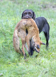 Hunting dog. With a catch stock image