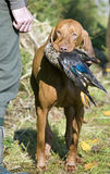 Hunting dog. With a catch Stock Images