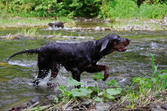 Hunting dog. Hound at work in the river Stock Photos