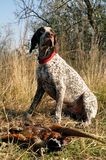 A hunting dog Stock Photo