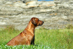 Hunting dog. A beautiful red wheaten obedient Rhodesian Ridgeback hound hunting dog sitting and watching other dogs in nature Royalty Free Stock Image