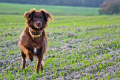 Hunting dog. For Field And Family royalty free stock photography