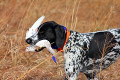 Hunting Dog. In Brillion. WI stock photography