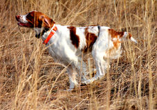 Hunting Dog stock photography