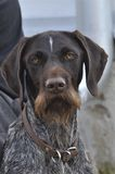 A Hunting dog Royalty Free Stock Photos