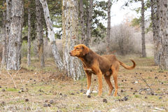 Hunting dog. Working in field Royalty Free Stock Photos