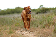 Hunting dog. Front view of a beautiful African female Rhodesian Ridgeback hound dog with alert facial expression busy hunting in the bushes in South Africa Stock Images