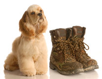 Hunting dog. American cocker spaniel sitting beside pair of camouflage hunting boots Stock Photo