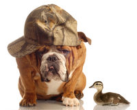 Hunting dog. English bulldog with hunting hat sitting beside a baby mallard duck Stock Photo