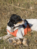 Hunting dog. A hunting dog with American Woodcock Stock Photos