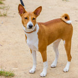 Hunting dog Basenji breed Royalty Free Stock Images