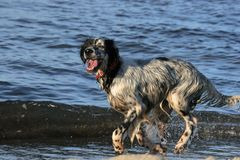Hunting Dog on Beach. Happy hunting dog running on beach after a swim Royalty Free Stock Photos