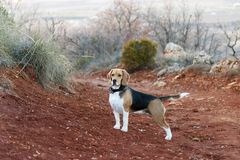 Hunting dog, of the beagle breed in the field at sunset royalty free stock photography