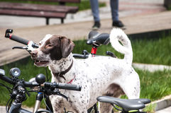 Hunting dog among bicycles Royalty Free Stock Photography