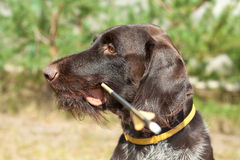Hunting Dog and boom Royalty Free Stock Image